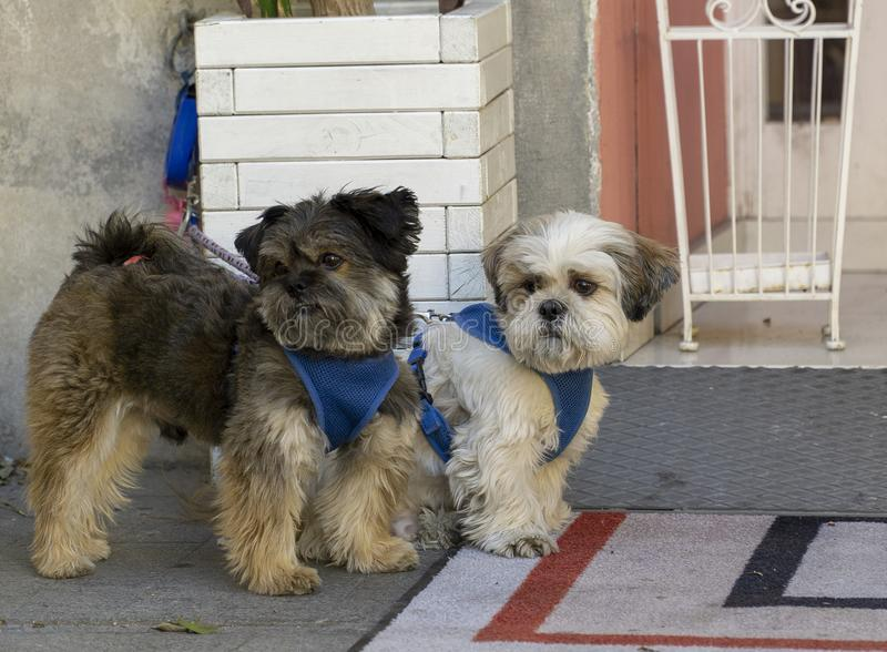 Couple of small,  pet dogs stock images