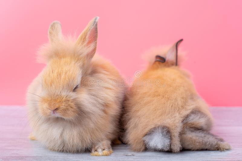 Couple small light brown rabbits stay on gray wood table and pink background with one is sleeping and the other show back of the stock images