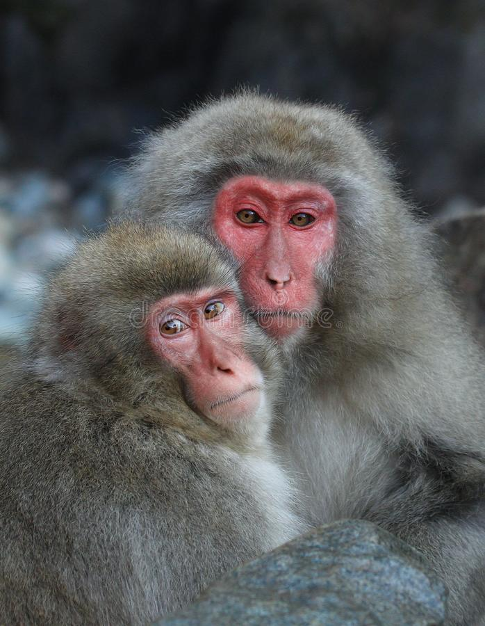 Couple of japanese snow monkeys Macaca Fuscata royalty free stock images