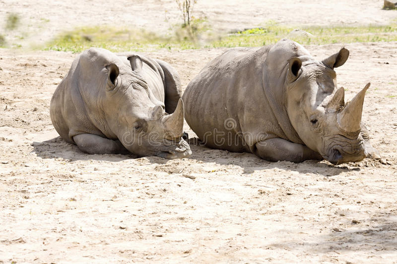 Couple of a Southern White Rhinoceros, Ceratotherium s. simum. The couple of a Southern White Rhinoceros, Ceratotherium s. simum royalty free stock image
