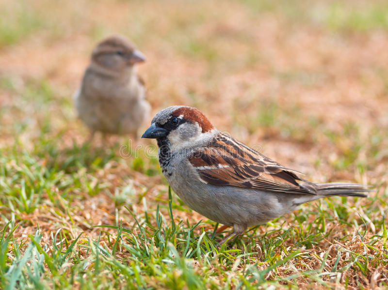 Couple of sparrow stock image
