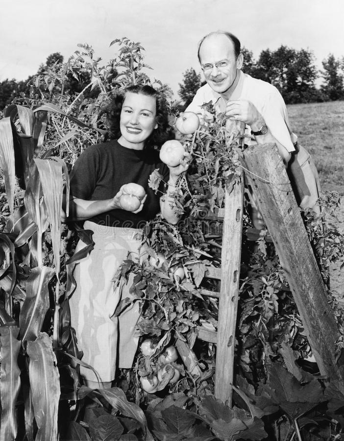 Couple standing in their garden showing off tomatoes. (All persons depicted are no longer living and no estate exists. Supplier grants that there will be no royalty free stock photo