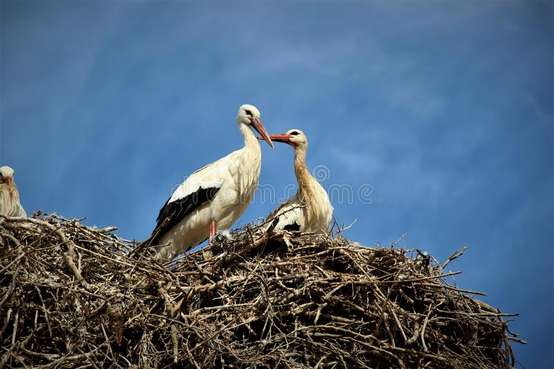 Couple of storks in love stock photos