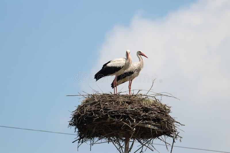 Couple of storks at their nest. Protecting youngsters, good parenting example royalty free stock images