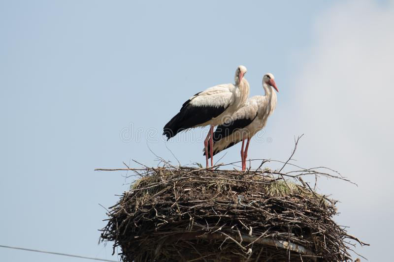 Couple of storks at their nest. Protecting youngsters, good parenting example royalty free stock image