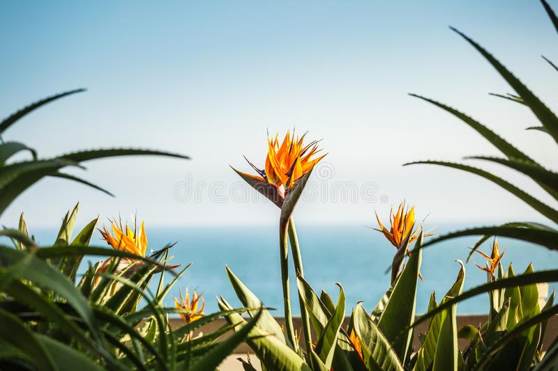 A couple of strelizia flowers. Bird of paradise, with copy space and pacific ocean on the background, love concept stock photography