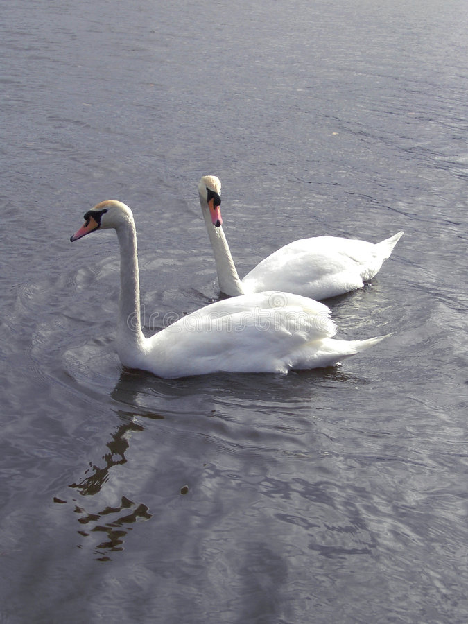 Couple of swans #2