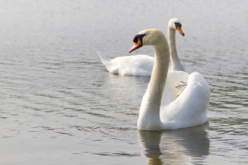 Download Couple of swans stock image. Image of nature, love, calm - 24096507