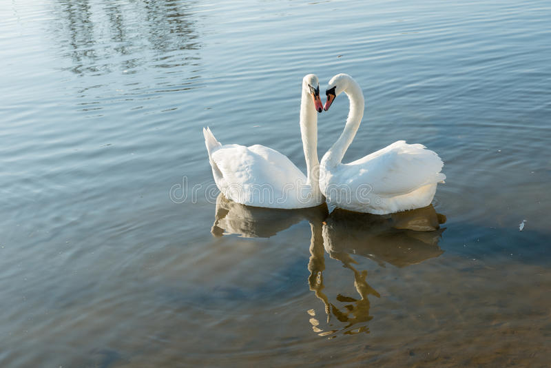 Download Couple of swans stock photo. Image of white, ponds, birds - 27904002