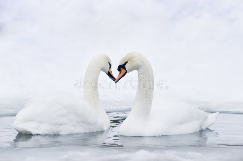 Download Couple Of Swans Forming Heart Stock Photo - Image: 4939966