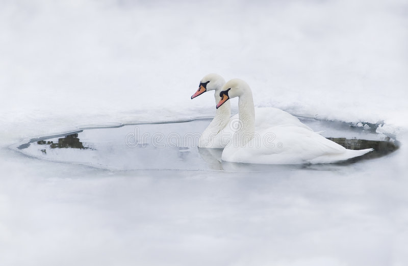 Download Couple Of Swans In The Ice-hole Stock Image - Image: 4939913
