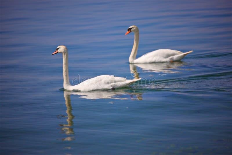 Couple of swans at Ohrid lake. Macedonia royalty free stock photos