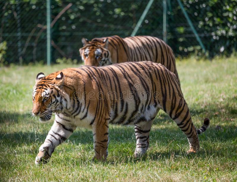 A couple of tigers walking on the grass. One blurred in the background. Tigers/ couple/ dangerous royalty free stock image