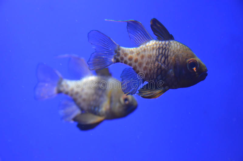 Couple of tropical fishes stock photography