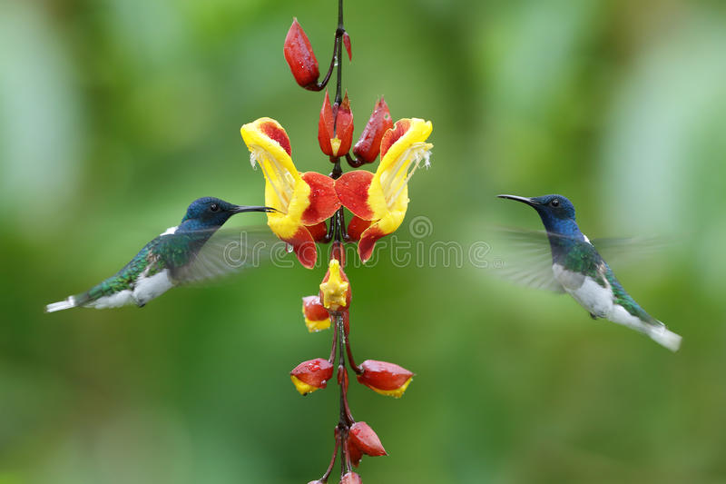 Couple of two hummingbirds White-necked Jacobin in the fly stock photos
