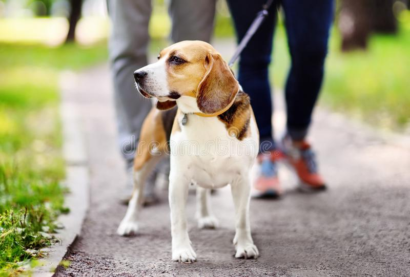Couple walking with Beagle dog wearing in collar and leash in the summer park. Young couple with Beagle dog wearing in collar and leash walking in the summer stock photography