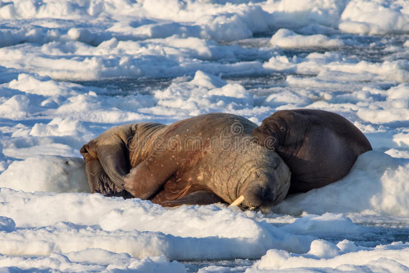 Couple of walruses on the ice - Arctic, Spitsbergen. Couple of Arctic walruses on the ice - Svalbard royalty free stock photos