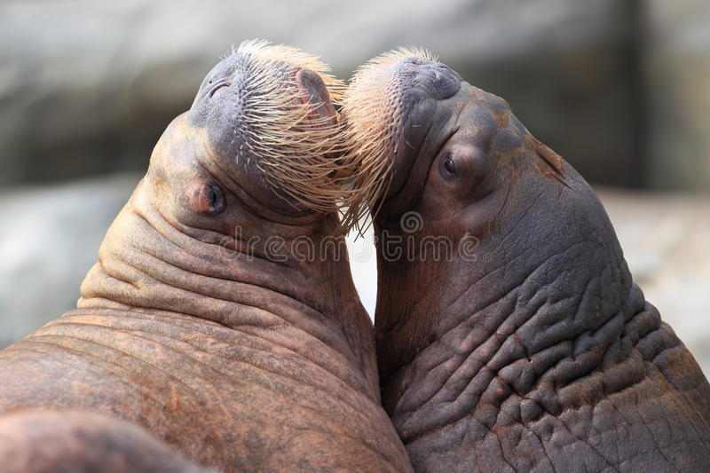 Couple of walruses. The couple of loving walruses stock photos