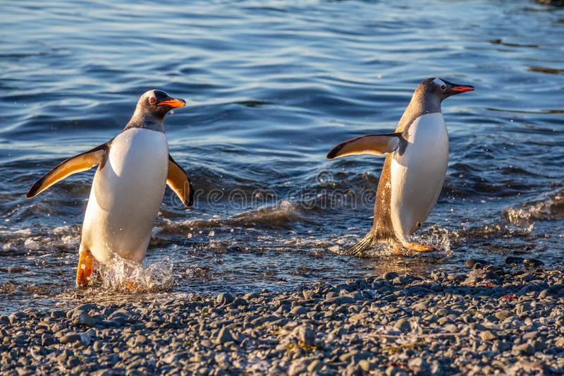 Couple of wet gentoo penguins coming ashore from ocean& x27;s waters at the Barrientos Island, Antarctic royalty free stock photos