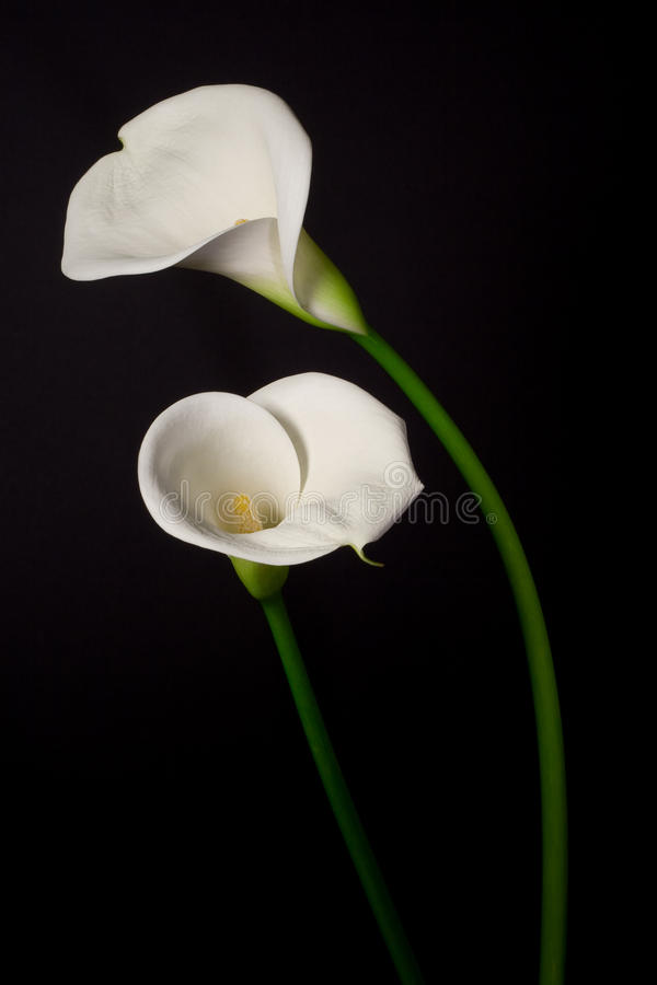 A couple of white Calla lily on a black background stock images