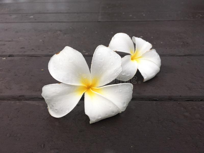 Couple white frangipani flower drop on the wooden terrace. Beautiful white flower fall down from tree stock image