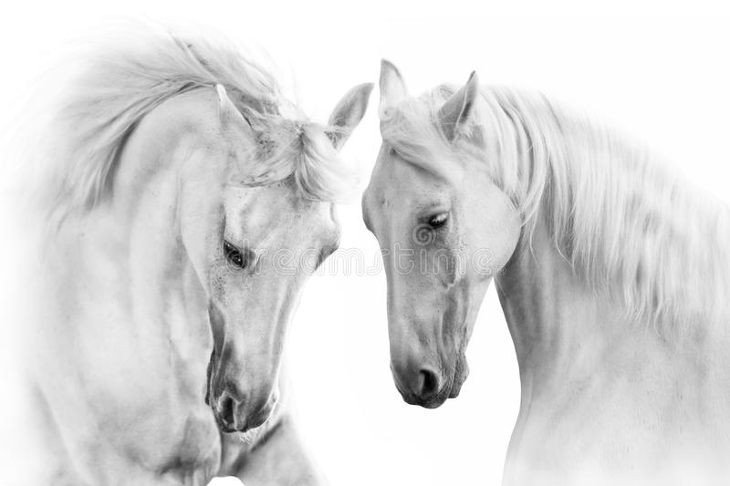 Download White Horses With Long Mane Stock Photo - Image of group, high: 110680796
