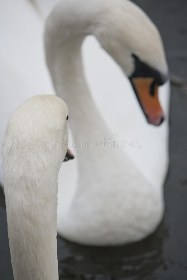 Couple of white swans royalty free stock photography