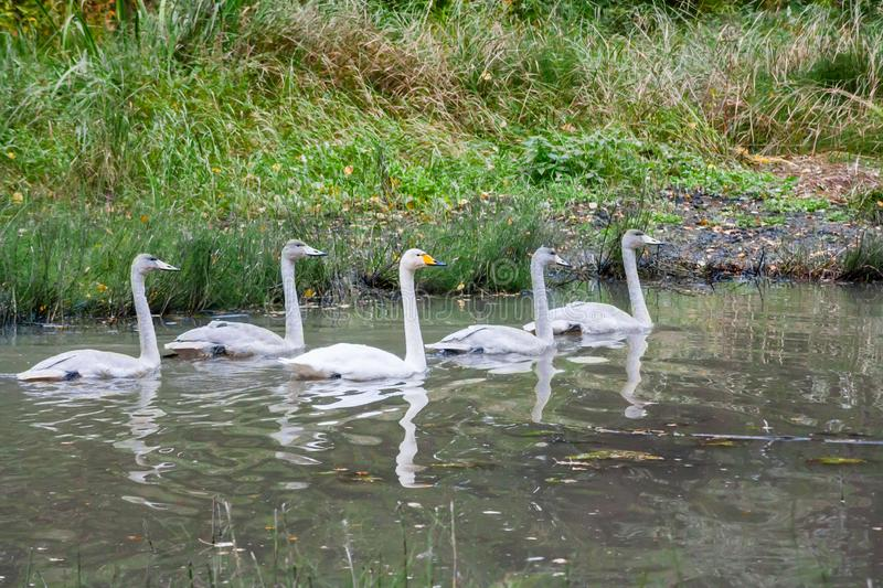 Couple white swans swimming with young cygnets on the river in Finland at summer.  stock photo
