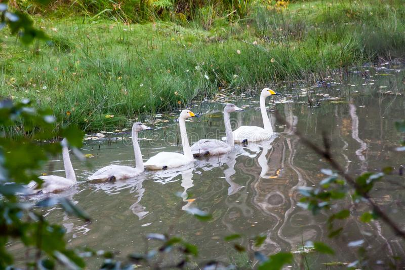 Couple white swans swimming with young cygnets on the river in Finland at summer stock photos