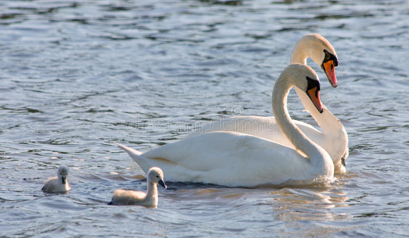 Couple of white swans and young cygnets. This is couple of white swans and young cygnets royalty free stock photography