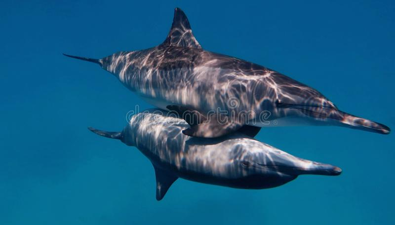 Couple of wild bootlenose dolphins stock photography