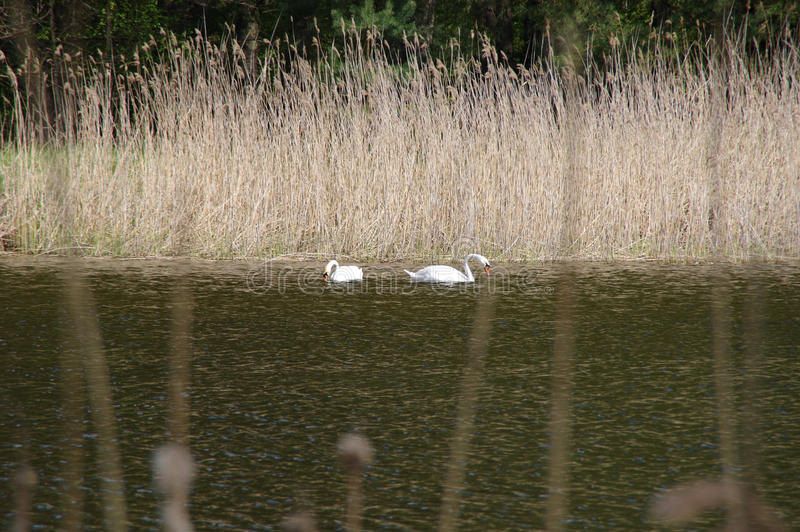 Couple of wild swans with reeds on background royalty free stock image