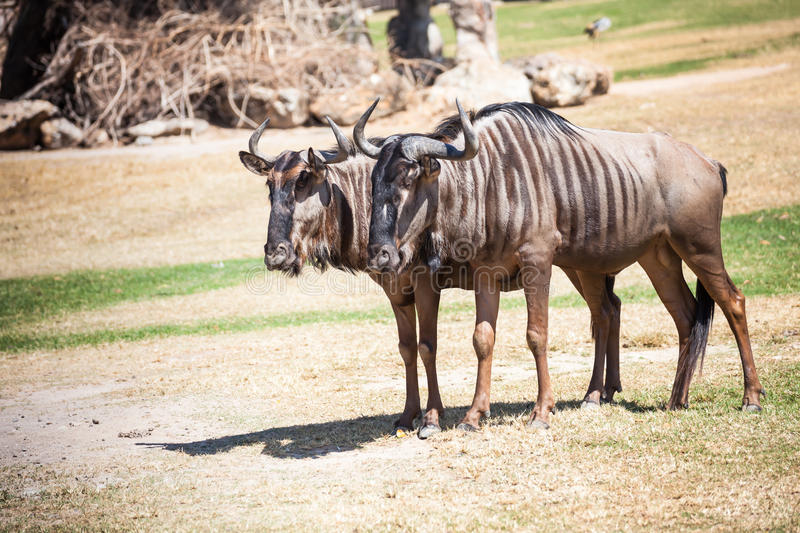 Couple of Wildebeest standing on the ground stock images