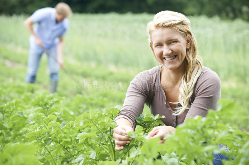 Couple Working In Field On Organic Farm. Producing natural food stock image