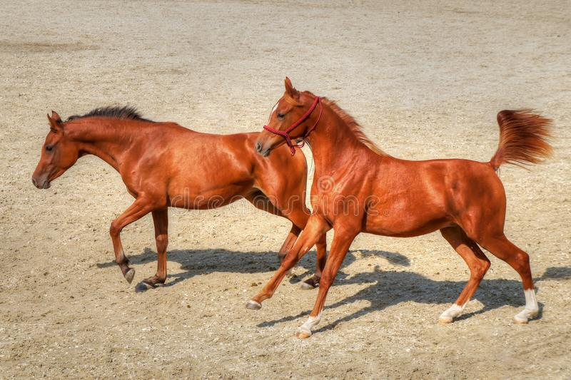 Young playful horses running free in the sand. Couple of young brown horses running in gallop and playing in the sand in a summer day - speed, fun, power stock photos