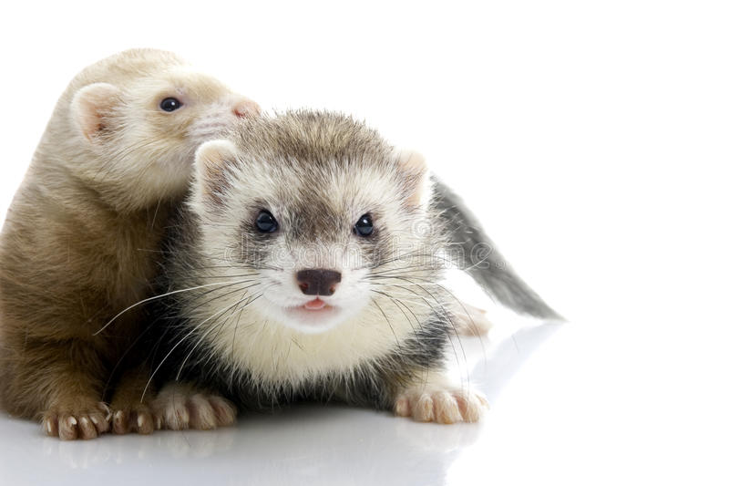 A couple of young ferrets. royalty free stock photo