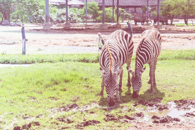Couple of Zebra eating and drinking from grass field stock photo