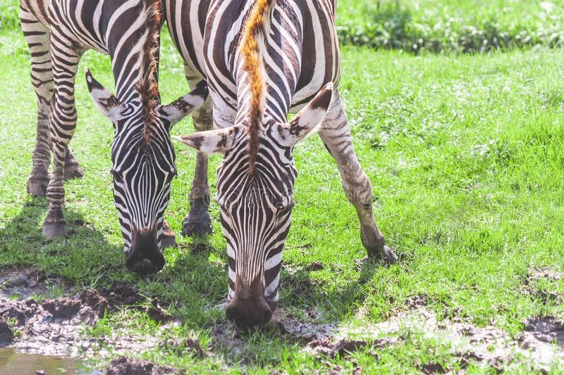 Couple of Zebra eating and drinking from grass field stock photography
