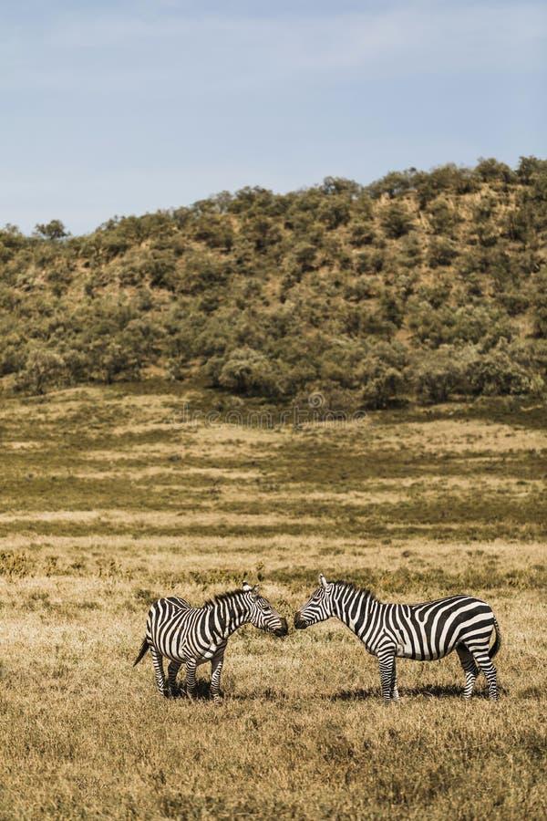 Couple of zebras in savanna on safari in Kenya. National park. Harmony in nature. Love wild animals stock photography