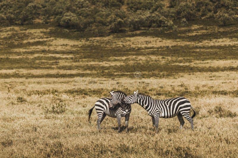Couple of zebras in savanna on safari in Kenya. National park. Harmony in nature. Love wild animals royalty free stock photo