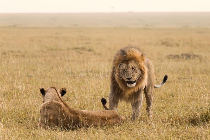 Couples africains de lion image stock