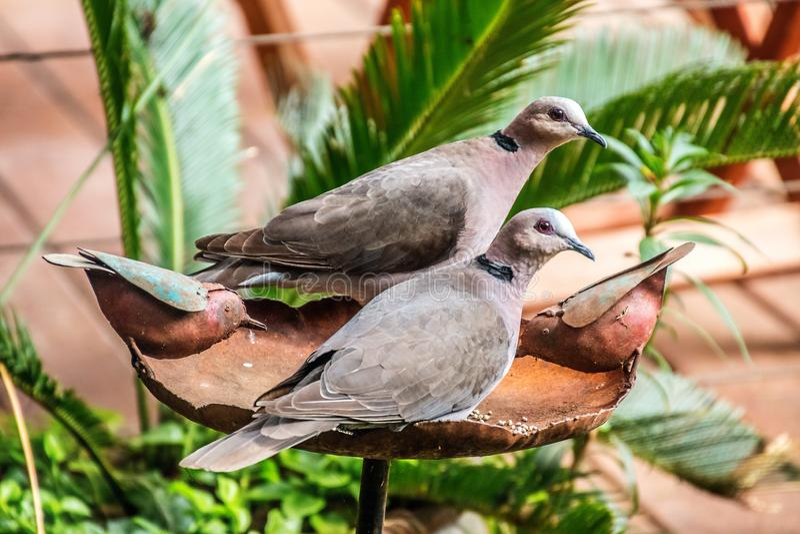 Couples colletés de deuil de colombe se reposant sur le bain d'oiseau image stock