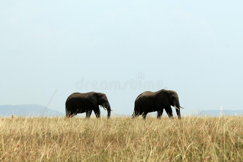 Couples d'éléphant image stock