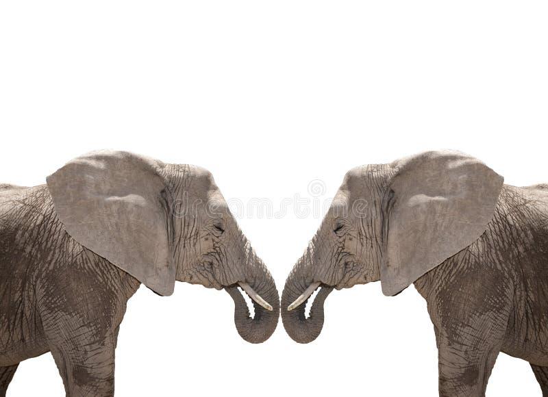 Couples d'éléphant d'isolement sur le blanc photographie stock