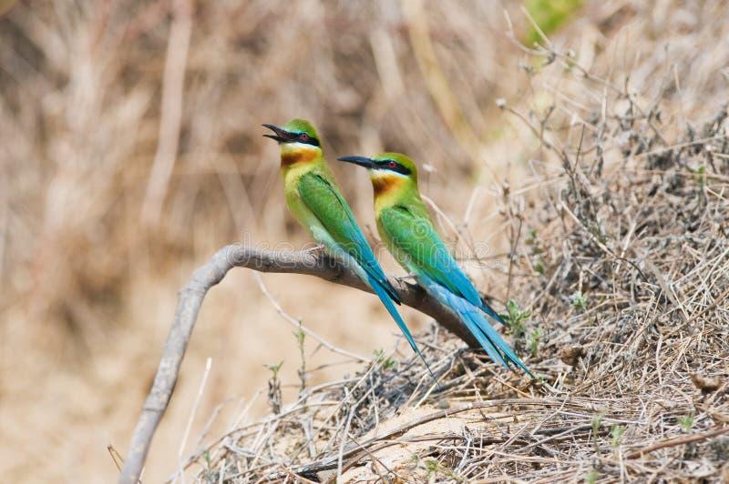 Couples d'Abeille-mangeur Bleu-coupé la queue images libres de droits