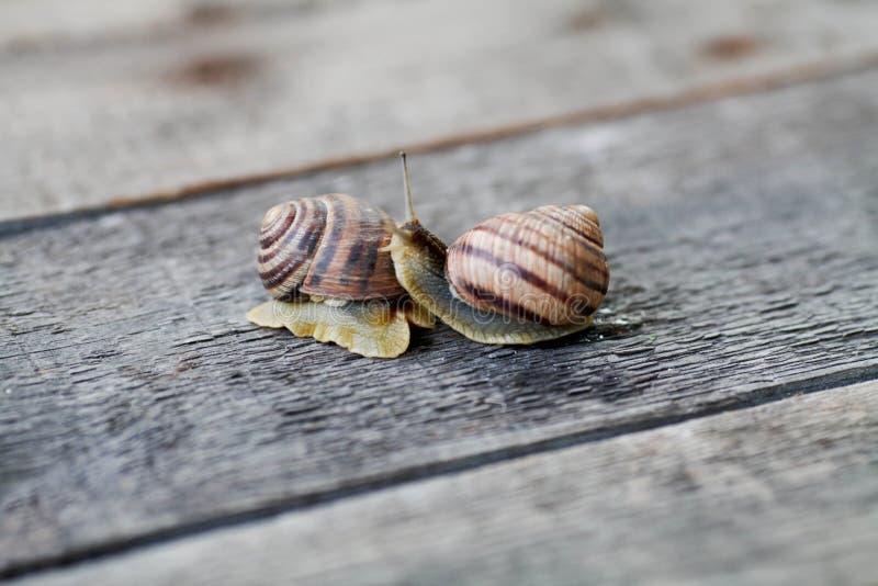 Couples d'escargot Analogie d'amour d'escargot images libres de droits