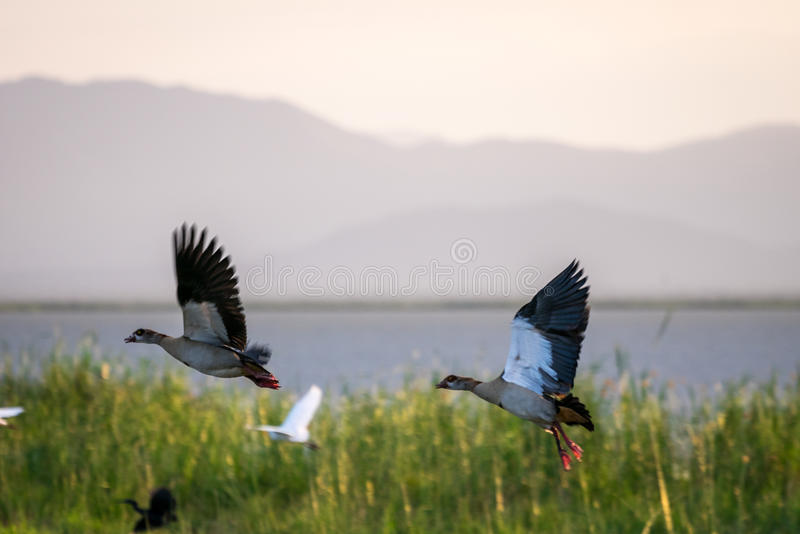 Couples d'oie égyptienne par le lac Jipe, Kenya, Afrique images stock