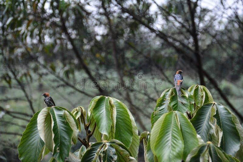 Couples d'oiseau de Lesser Striped Swallow en parc national impénétrable de Bwindi photographie stock