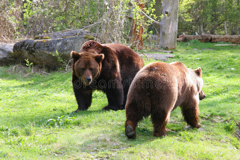 Couples d'ours photo stock