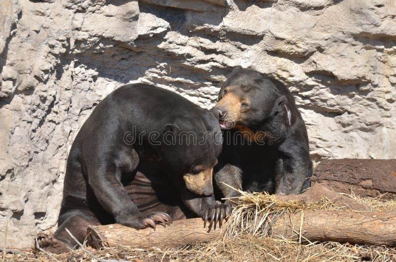 Couples 2 d'ours de Sun image libre de droits